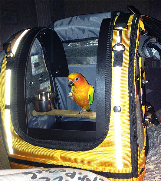 Squirt, the Sun Conure,  is happy inside a Celltei
