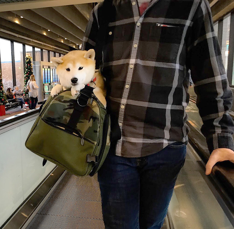 Celltei Airline Carrier for Tokyo, a world traveling Shiba Inu girl