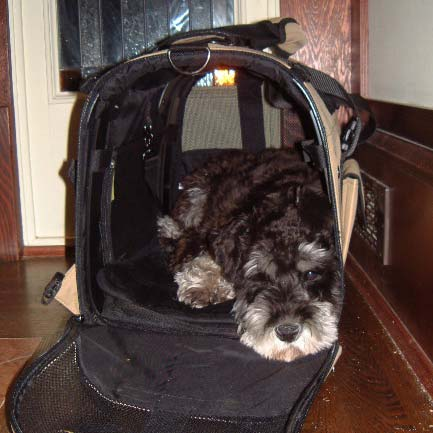 Schnauzer patiently waits inside Celltei Backpack hoping for another walk outside
